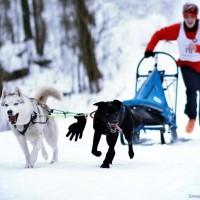 Чемпионат Московской области по ездовому спорту в Головино, 30 января, – 2 место