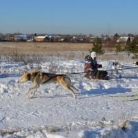 Скиджоринг на гонке «Созвездие Волка»